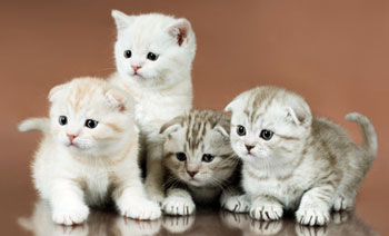 The Scottish Fold Kitten: About the Breed