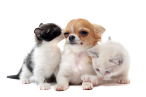 socializing kittens with dogs