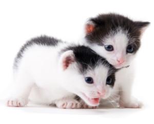 2 week old kittens development