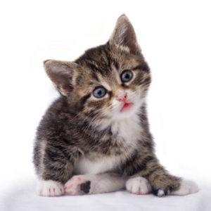 kitten 1 month old
