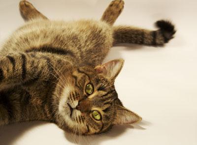 house cat body temperature